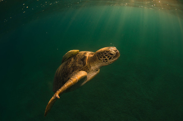Green turtles of Abu Dabab bay