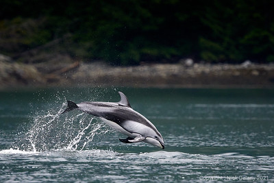 Pacific White Sided Dolphin dive!
