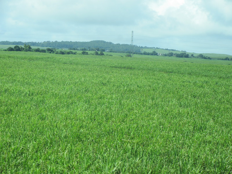 013_Sugar Cane Industry. Cycle of 7 years. Cut it dowm, grow back by itself with fertilizer.JPG