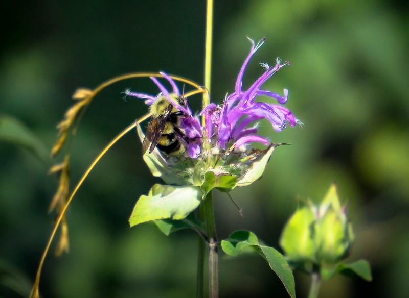 bumble bee - on purpole flower apollo county park (p).jpg