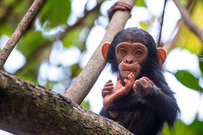 Chimp babies