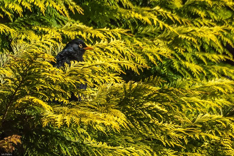Peeking Blackbird