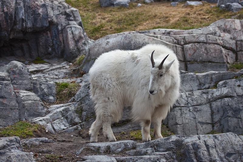 Mountain Goat, Calgary Zoo, April 26