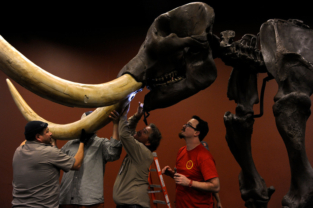 . Joe Mandrell, right, from The Field Museum in Chicago, supervises a crew of workers at the Denver Museum of Nature and Science as they begin the process of piecing together life-size replicas of Ice Age mammals, including this 10-foot tall American mastodon for the upcoming exhibit Mammoths and Mastodons: Titans of the Ice Age. This mastodon will be in an area of the exhibit that will include some of the big finds from the Snowmass Village discoveries which will for the first time be on public display. The exhibit, on tour from The Field Museum in Chicago runs from Feb. 15-May 27, 2013 and tickets will go on sale Feb. 1, 2013. (Photo By Kathryn Scott Osler / The Denver Post)