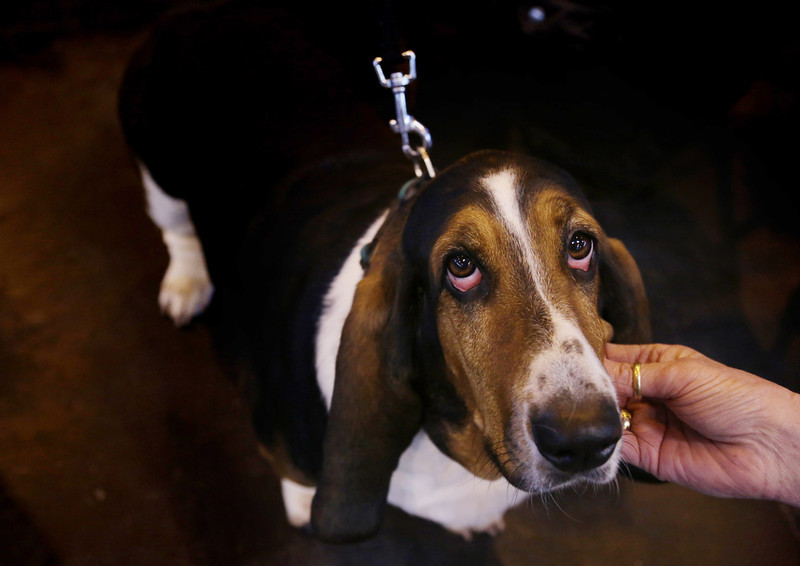 . A Basset Hound is tickled on the second day of the Crufts dog show at the NEC on March 7, 2014 in Birmingham, England. Said to be the largest show of its kind in the world, the annual four-day event, features thousands of dogs, with competitors traveling from countries across the globe to take part. Crufts, which was first held in 1891 and sees thousands of dogs vie for the coveted title of \'Best in Show\'.  (Photo by Matt Cardy/Getty Images)