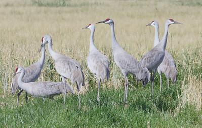 Sandhill Cranes in California