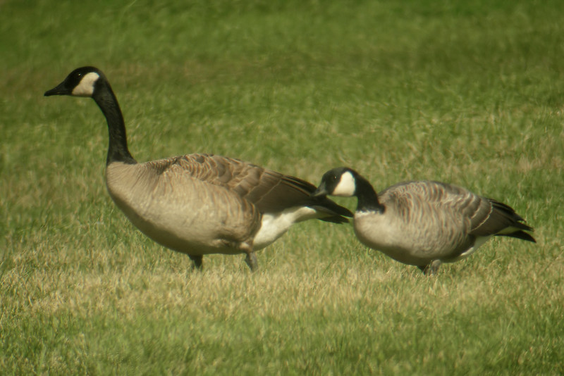 Goose - Cackling and Canada - Beaver Bay, MN