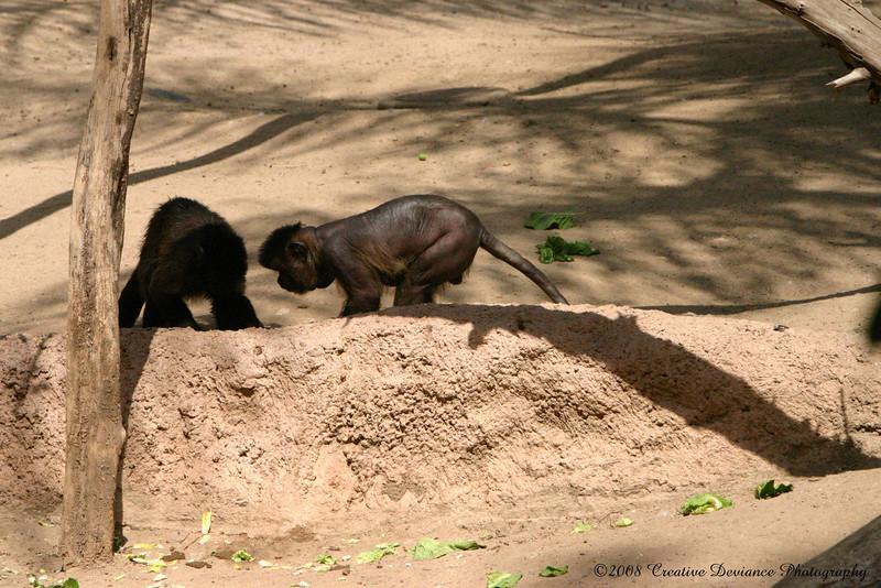 Brown Capuchin4.jpg