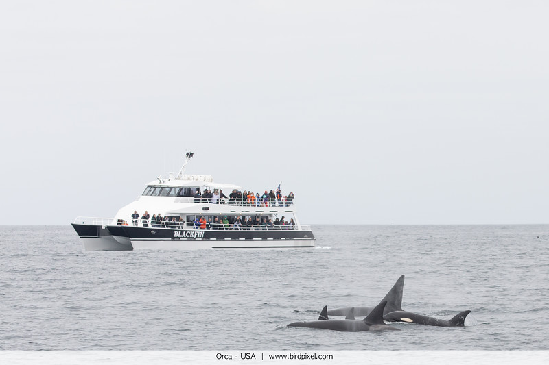 Orca - USA