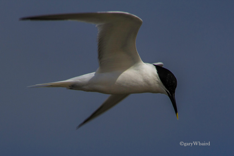 Sandwich Tern Flight