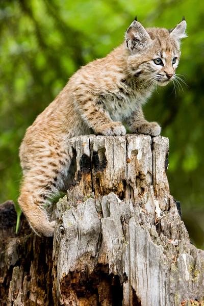 Bobcat_20090621_576.jpg