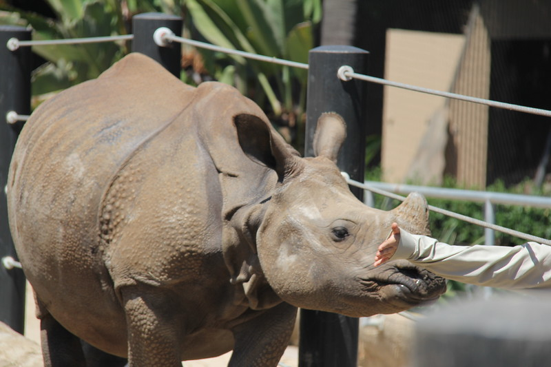 20170807-062 - San Diego Zoo - Rhinoceros.JPG