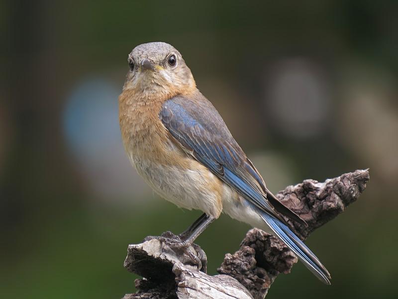 sx50_bluebird_faith_boas_106a.jpg