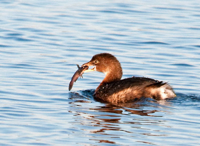 Duck - Pied-billed Grebe