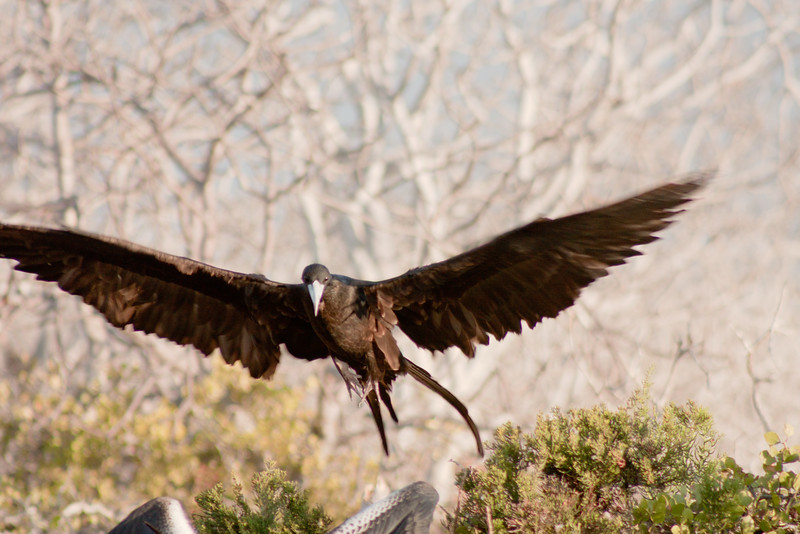 Journey into Baltra Island in the Galapagos Archipelago 23 Frigate Bird Touch Down