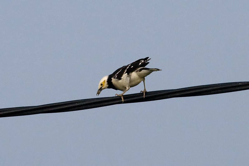Black-collared Starling (2) at Long Valley, Hong Kong, China (11-8-08).psd