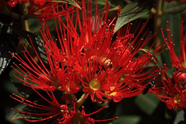 Bees on New Zealand Rata