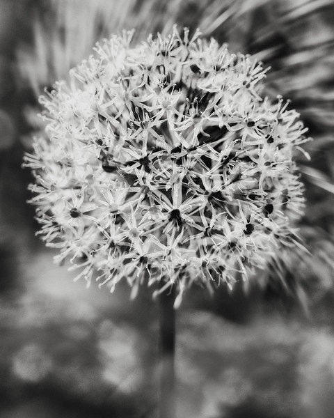 giant allium double exposure