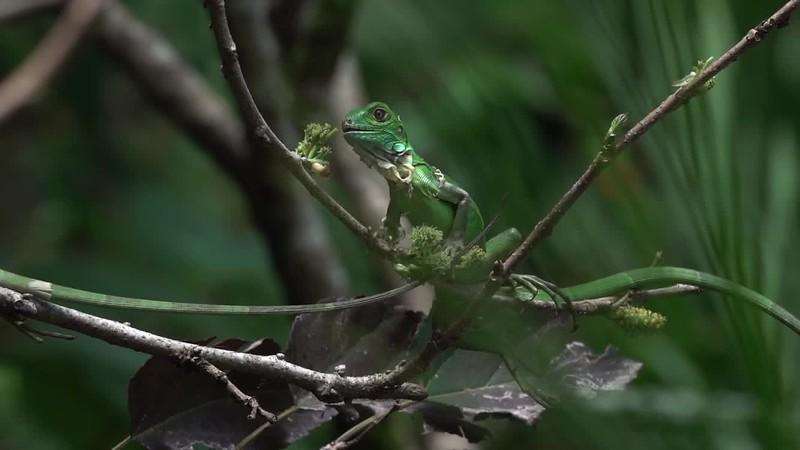 Video - Green Iguanas eating blackberry bush