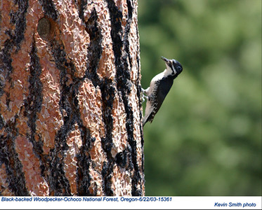 BlackBackedWoodpecker15361.jpg