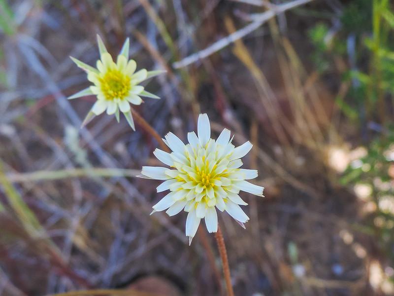 Silverpuffs  (Uropappus lindleyi) ASTERACEAE