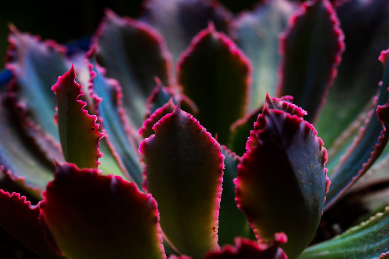 succulent red tip 041020-.jpg