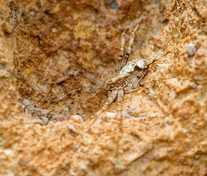 running crab spider Philodromus species near retreat on boulder in Admiral Road gravel pit Bog BioBlitz Sax-Zim Bog MN  IMG_1325.jpg