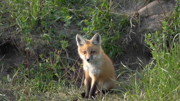 5-27-20 Video Red Fox Kit