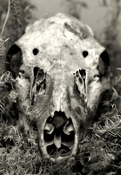 Black tailed deer skull