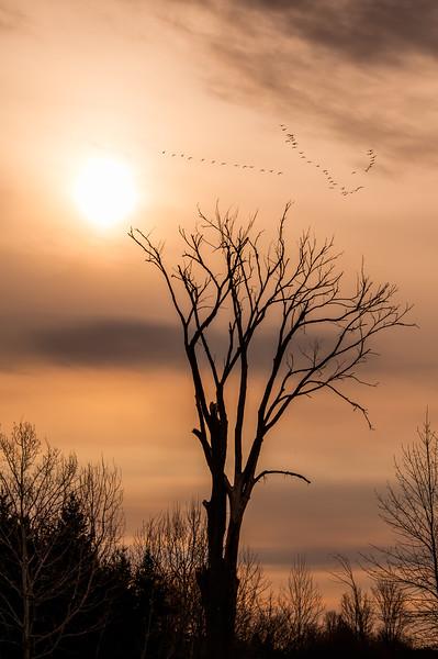 Elm silhouette at sunrise_April 18-2014_01.jpg