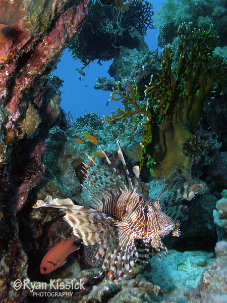 Lionfish with coral and open ocean in the background