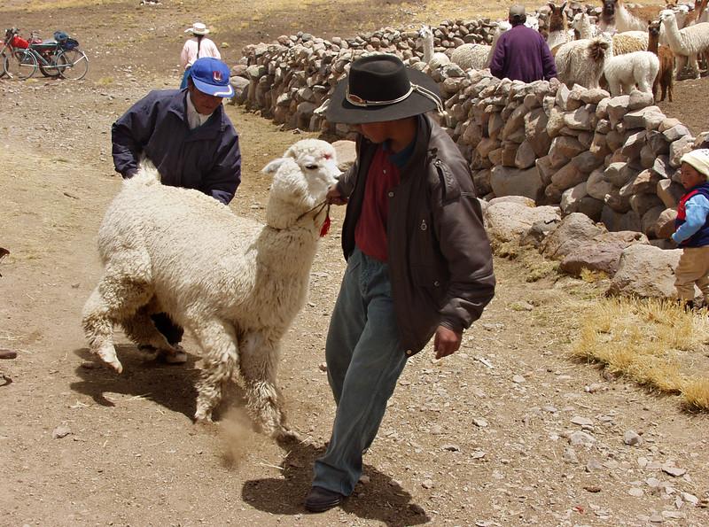 P6 - Peru - Near Chivay - Llama auction.jpg