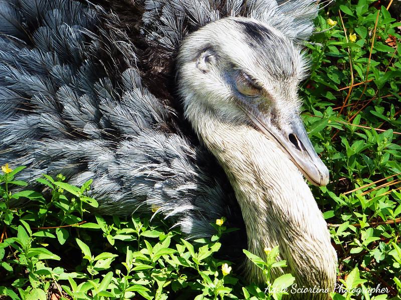 Ostrich Sleeping