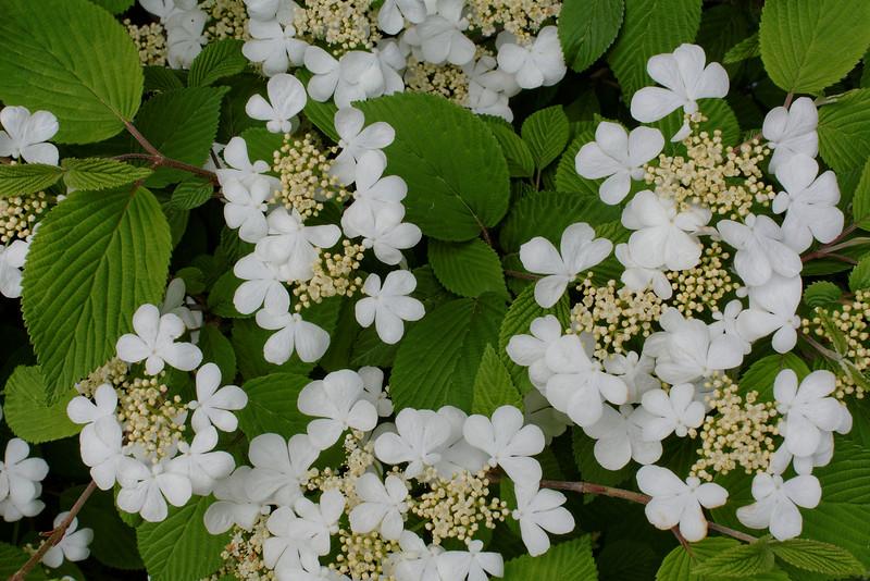 Viburnum - Lace Cap (4).jpg