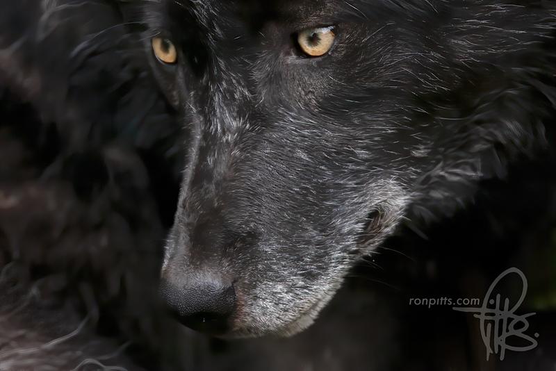 sm black wolf_MG_6458.jpg