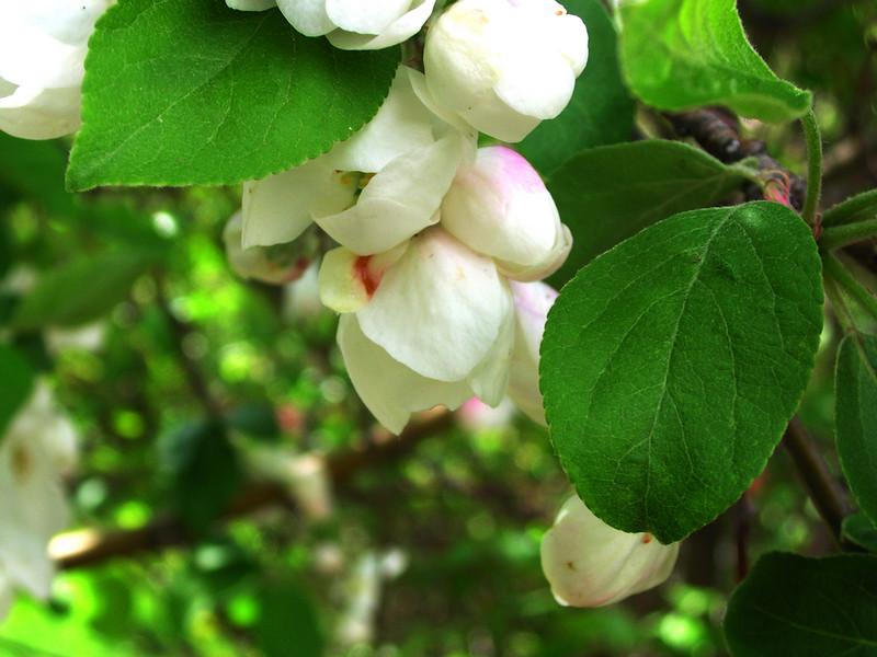 white bloom78.JPG