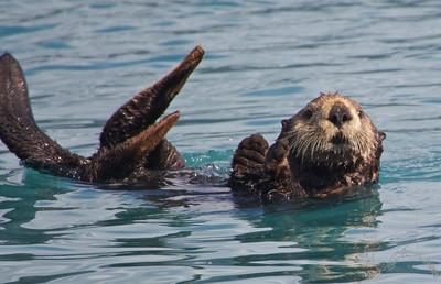 Alaskan Otters
