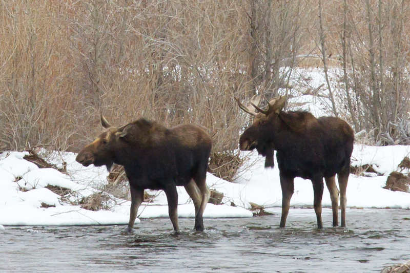 moose pair river 1.19.18 4.jpg