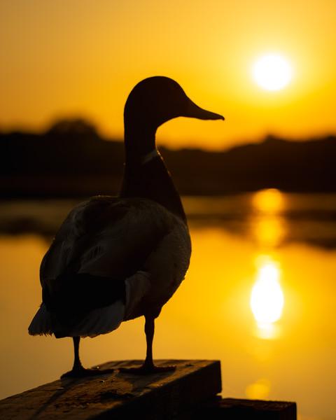 mallard duck silhouette at sunset
