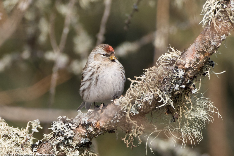 feamle Common Redpoll