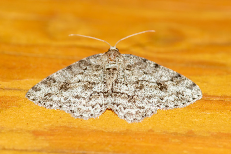 Engrailed-Small-(Ectropis crepuscularia)-Dunning Lake-Itasca County, MN