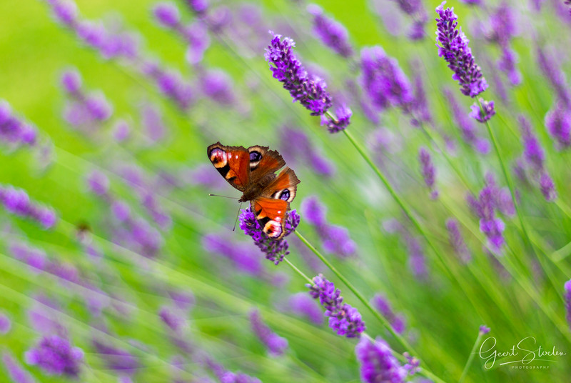 Butterfly visiting lavender bushes