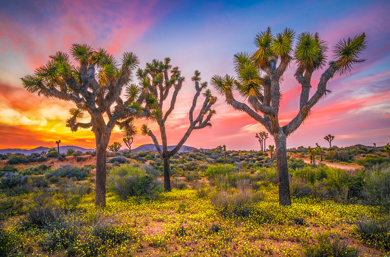 Joshua Tree Spring Symphony #7: Joshua Tree National Park Wildflowers Superbloom Sunset Fine Art Landscape Nature Photography  Dr. Elliot McGucken Prints & Luxury Wall Art!