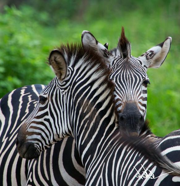 ZebraS-13.jpg
