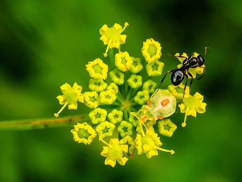 Shiny Ant