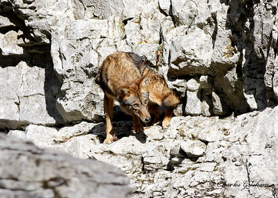 Coyote at the Walls of Jericho