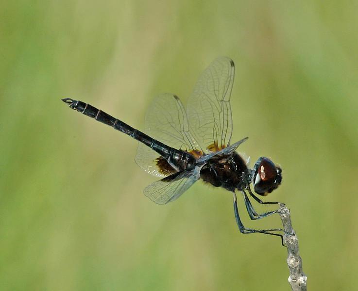 Macrodiplax balteata (Marl Pennant), FL - male