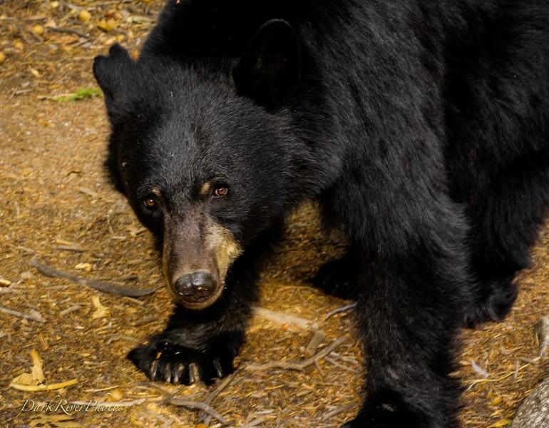 Kings Canyon National Park Black Bear Looking Right At Me_.jpg