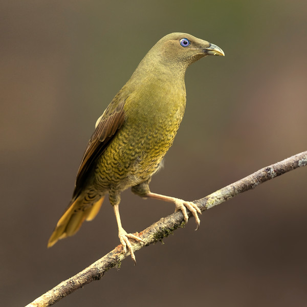 Satin Bowerbird young male