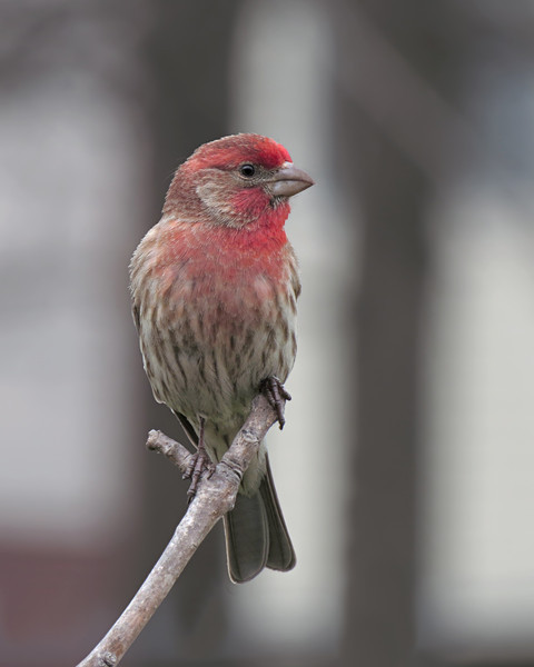 sx50_house_finch_boas_245.jpg